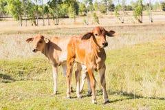Krowy Asia zwierzęcia las Obraz Royalty Free