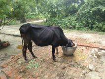 Krowy łasowania jedzenie w naturalnym tle Fotografia Royalty Free