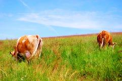 Krowa w polu Zdjęcie Royalty Free