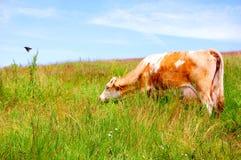 Krowa w polu Zdjęcia Stock