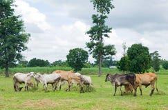 krowy azjatykci pole Zdjęcia Royalty Free
