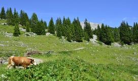 Krowy Blisko Cason Di Lanza Fotografia Royalty Free