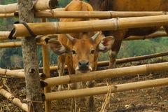 Krowy bydła traken w tradycyjnym miejscowego stylu gospodarstwie rolnym z bambusowymi budami na Flores, Indonezja Obrazy Stock