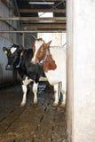 krowy ciekawe Obraz Royalty Free