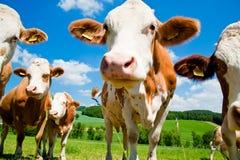 krowy ciekawe Fotografia Stock