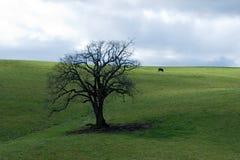 krowy czarny drzewo Fotografia Royalty Free