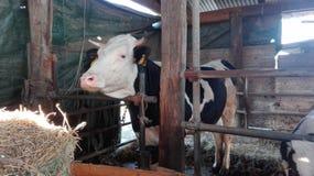 Krowy czarny i biały w gospodarstwie rolnym zdjęcie royalty free