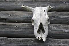 krowy czaszka Zdjęcie Royalty Free