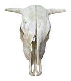 Krowy czaszka Zdjęcia Stock