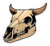 Krowy czaszka Obrazy Stock
