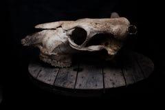 Krowy czaszka Fotografia Royalty Free