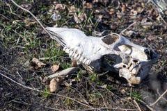 Krowy czaszka Obrazy Royalty Free