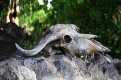 Krowy czaszka na skale Fotografia Stock