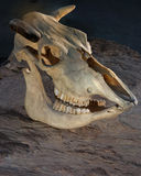 krowy czaszka s obrazy stock