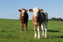 krowy dwa Obraz Royalty Free