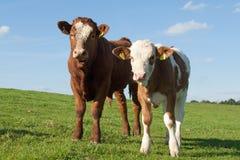 krowy dwa Obrazy Royalty Free