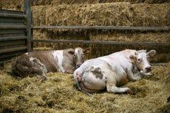 krowy dwa Zdjęcia Royalty Free