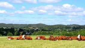 Krowy fabryczne zbiory
