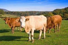 krowy farmyard Obrazy Royalty Free