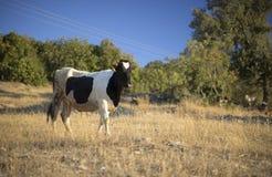 krowy friesian obrazy royalty free