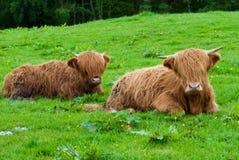 krowy górskie Fotografia Royalty Free