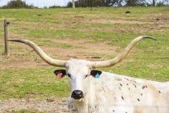 Krowy głowa z niektóre dużymi rogami Zdjęcia Royalty Free