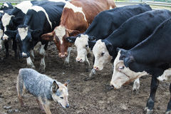 Krowy gapi się przy Australijskim bydło psem Obrazy Royalty Free