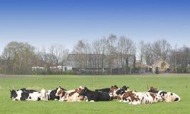 krowy gospodarstwo rolne Zdjęcia Stock
