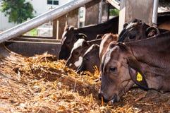 Krowy gospodarstwo rolne Obrazy Stock