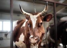 Krowy gospodarstwo rolne Obraz Royalty Free