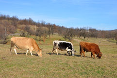 krowy gospodarstwo rolne trzy Obraz Royalty Free