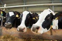 Krowy gromadzą się przy gospodarstwo rolne kramem Obrazy Stock