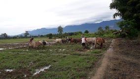 Krowy grupowa praca zdjęcia royalty free