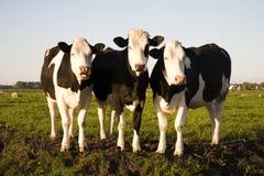 krowy holenderskie Fotografia Stock