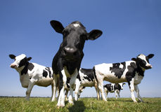 krowy holenderskie Zdjęcie Royalty Free