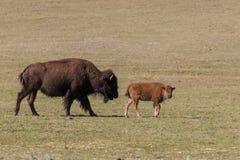 Krowy i łydki żubr zdjęcia royalty free