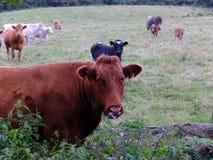 Krowy i łydki obrazy stock