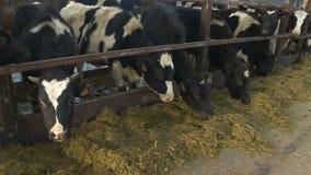 Krowy i łydki na zwierzęcym gospodarstwie rolnym zbiory wideo