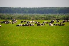 Krowy i trawa Zdjęcie Royalty Free