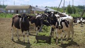 Krowy jedzą kiszonka dozowniki przed wieczór dojem zbiory