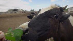 Krowy jedzą kiszonka dozowniki przed wieczór dojem zbiory wideo