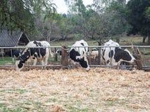 Krowy jedzą kukurydzane łupy dla jedzenia 01 Zdjęcie Royalty Free