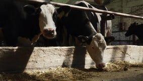 Krowy jedzą pozycję w stajni zbiory
