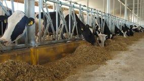 Krowy karmi proces na nowożytnym gospodarstwie rolnym Zamyka w górę krowy karmienia na mleka gospodarstwie rolnym Krowa na nabiał zdjęcie wideo