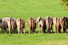 krowy końcówka linia tyły Zdjęcie Stock