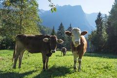 krowy Krajobrazowy ochrona terenu Achstà ¼ rze Bydło i alps w tle Zdjęcia Royalty Free