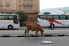 Krowy, krowa venerated zwierzę w kraju lub, relaksuje i siedzi wokoło autostrady lub głównej drogi fotografia royalty free