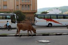 Krowy, krowa venerated zwierzę w kraju lub, relaksuje i siedzi wokoło autostrady lub głównej drogi zdjęcie royalty free