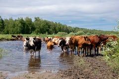Krowy krzyżuje rzekę na letnim dniu Fotografia Royalty Free