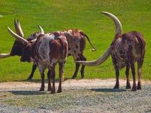 krowy longhorn zdjęcia royalty free